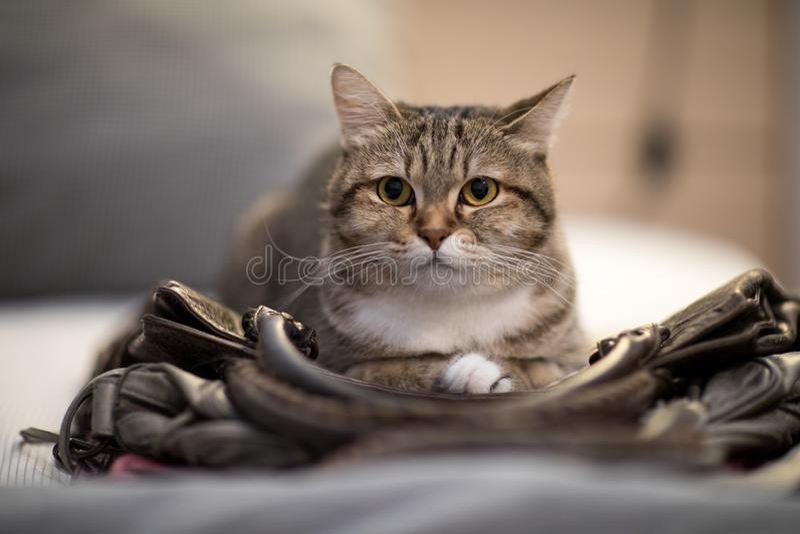 Animal doméstico precioso animal del instinto del bolso del sueño del gato imagenes de archivo
