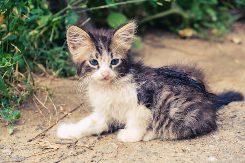 Animal dom?stico lindo del par?sito del gato del gatito Nacional adorable imagenes de archivo