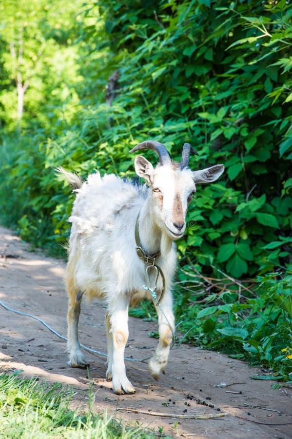 Animal domestiqué sur un sentier piéton images stock