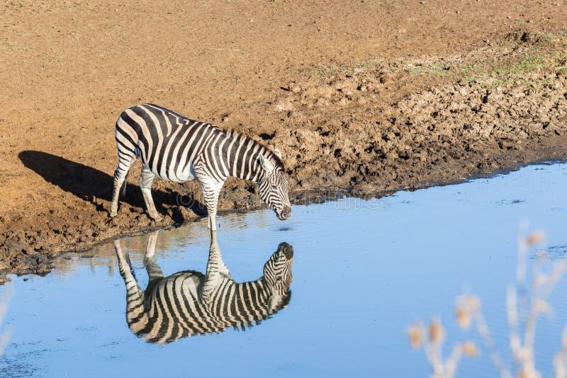 Animal dos animais selvagens da reflexão dobro da água da zebra fotografia de stock