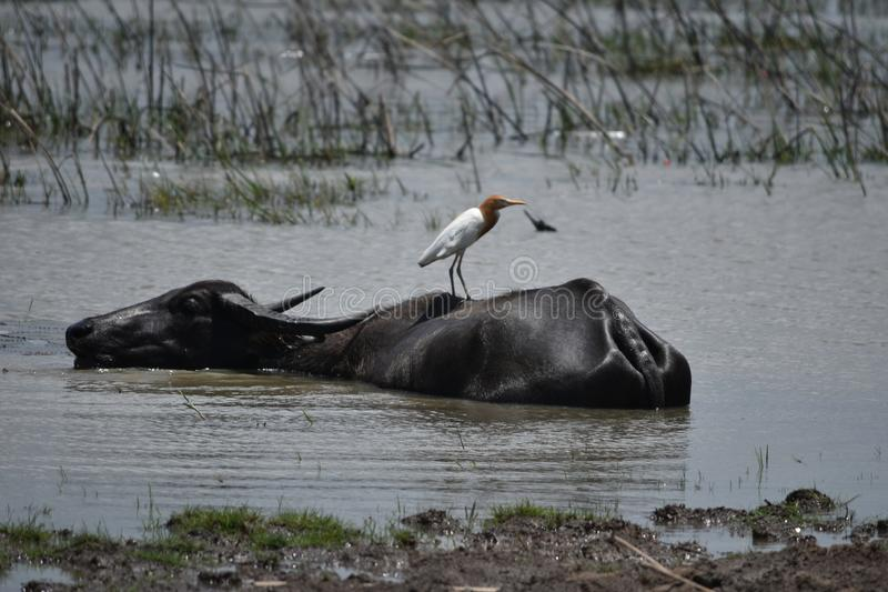 Animal dos rebanhos animais de Ásia Tailândia do búfalo de água do búfalo fotos de stock