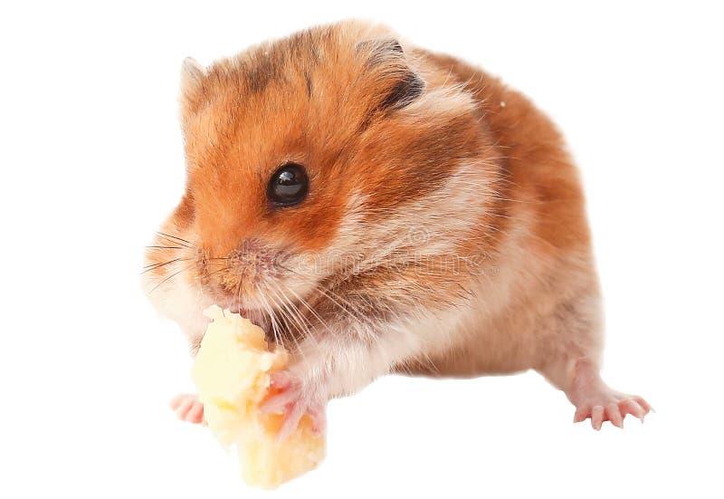 Animal drôle de hamster, hamster mangeant du fromage image libre de droits