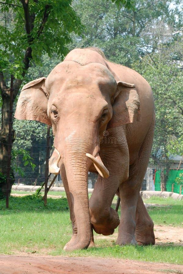 Free Animal Elephant Walking Stock Photo - 13930580