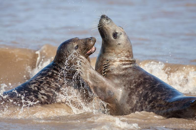 Animal emotion. Loving seal couple having fun in the sea. Love and affection displayed by wildlife couple playing, hugging and bonding together for hours royalty free stock image