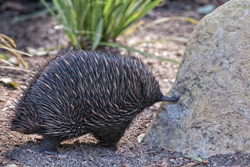 Animal endémico australiano del Echidna fotos de archivo libres de regalías