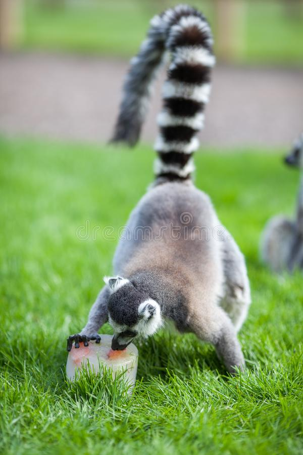 Animal enrichment. Hot day fruit ice lolly treat for lemur royalty free stock image