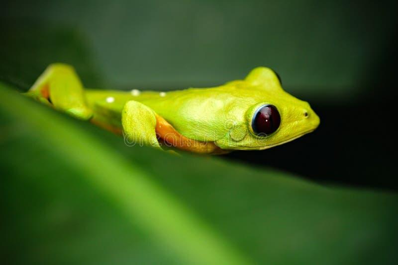 Animal exótico, rana de la hoja de vuelo, spurrelli de Agalychnis, rana verde que se sienta en las hojas, rana arbórea en el hábi fotografía de archivo