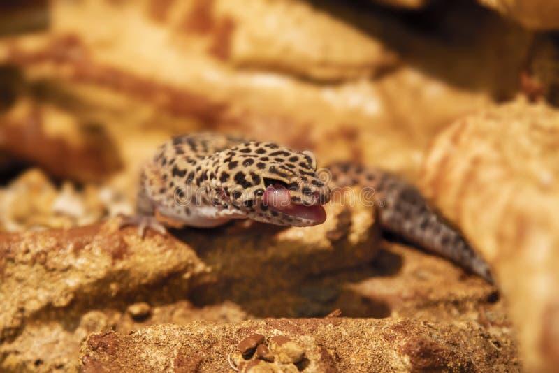 Animal exotique d'eublepharis de reptile repéré sur les roches images stock