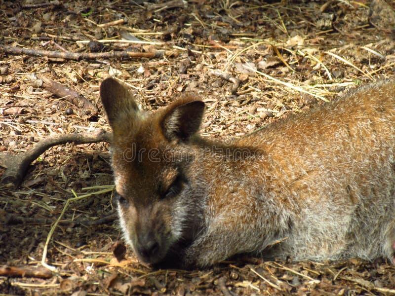 Animal fêmea do retrato do canguru do sono, da colocação e do descanso fotos de stock royalty free