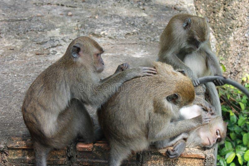 Animal, família de Monky foto de stock royalty free