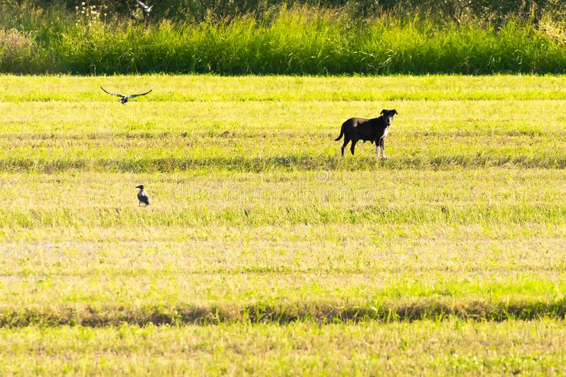 Animal familier bucolique avec des oiseaux autour Agriculture d'agriculture photographie stock libre de droits