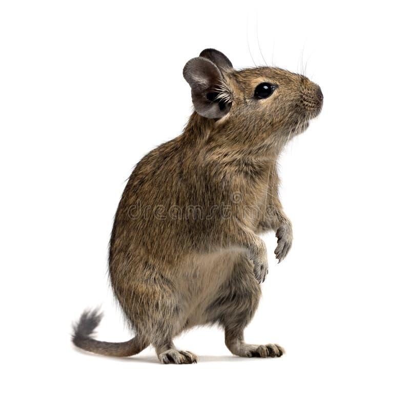 Animal familier de Degu image libre de droits