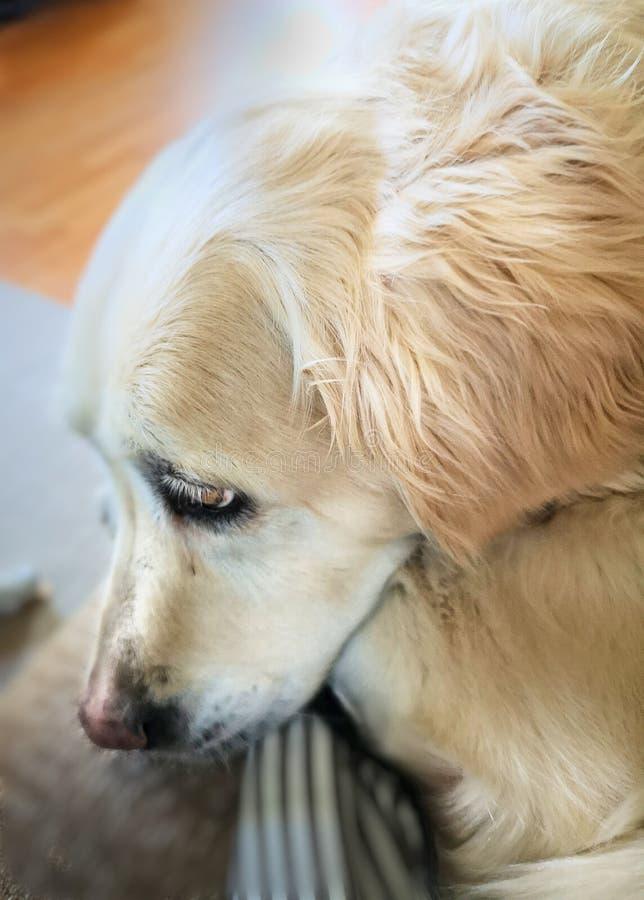 Animal familier de Goldenretriver photos libres de droits