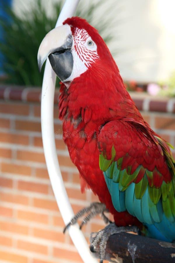 Animal familier de macaw d'écarlate photographie stock libre de droits