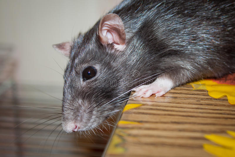 Animal familier de rat photos libres de droits