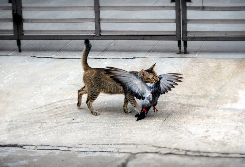 Animal familier domestique Cat Hunts et mises à mort un pigeon photo libre de droits