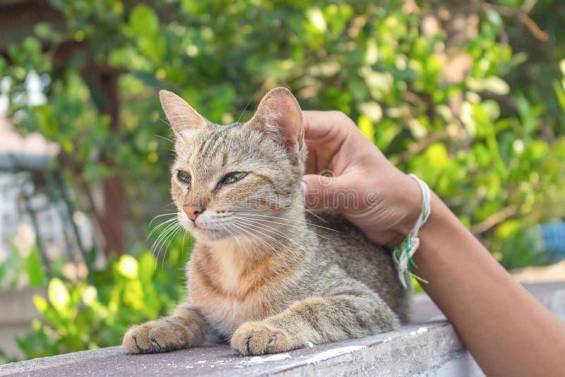 Animal familier gris de chat, amour à l'homme photo libre de droits