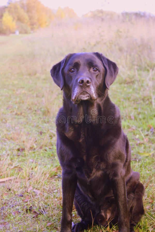 Animal familier Labrador photos stock