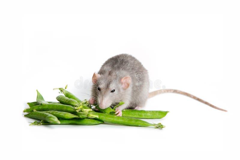 Animal familier mignon Un rat mignon d'abruti sur un fond blanc d'isolement mangeant les pois Le symbole de 2020 image stock