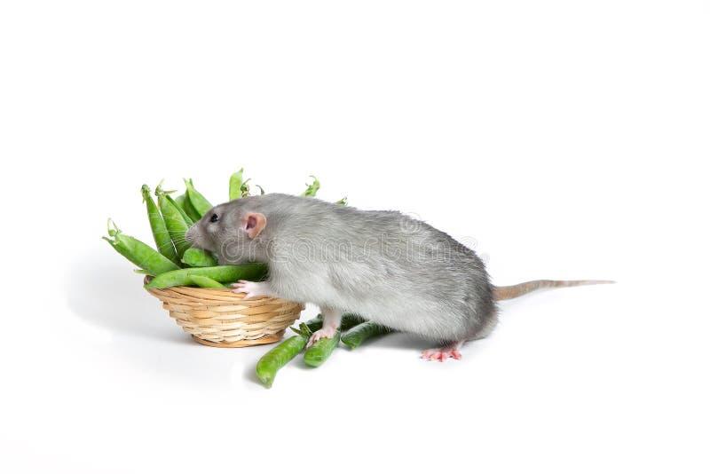 Animal familier mignon Un rat mignon d'abruti sur un fond blanc d'isolement mangeant les pois Le symbole de 2020 photographie stock libre de droits