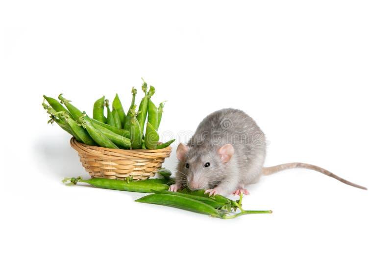 Animal familier mignon Un rat mignon d'abruti sur un fond blanc d'isolement mangeant les pois Le symbole de 2020 image libre de droits