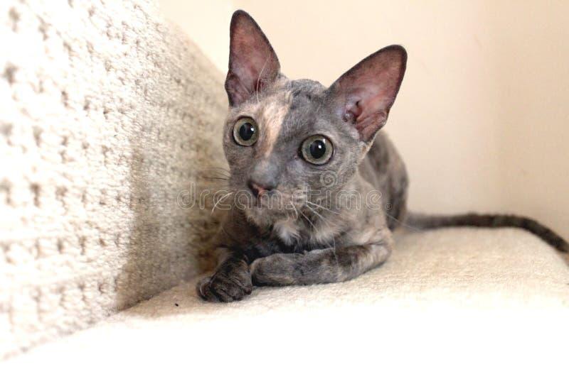 Animal familier Rex Cat Laid cornouaillais sur l'étape de l'escalier image libre de droits