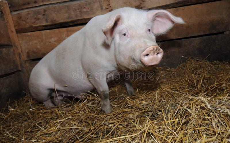 Download Animal farm stock image. Image of livestock, barn, young - 22516243
