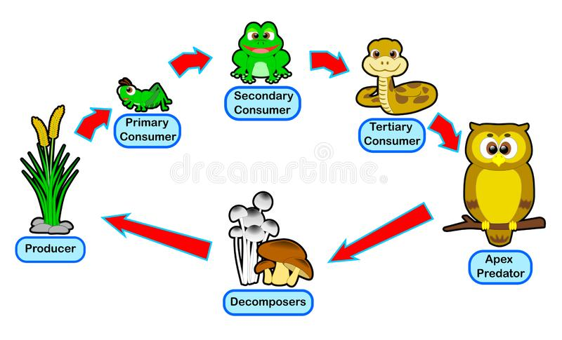 Animal food chain live circle. The animal food chain is the circle of consumer level use for educationn royalty free illustration