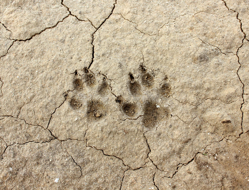 Download Animal footprint stock photo. Image of steppe, cracks - 24416490