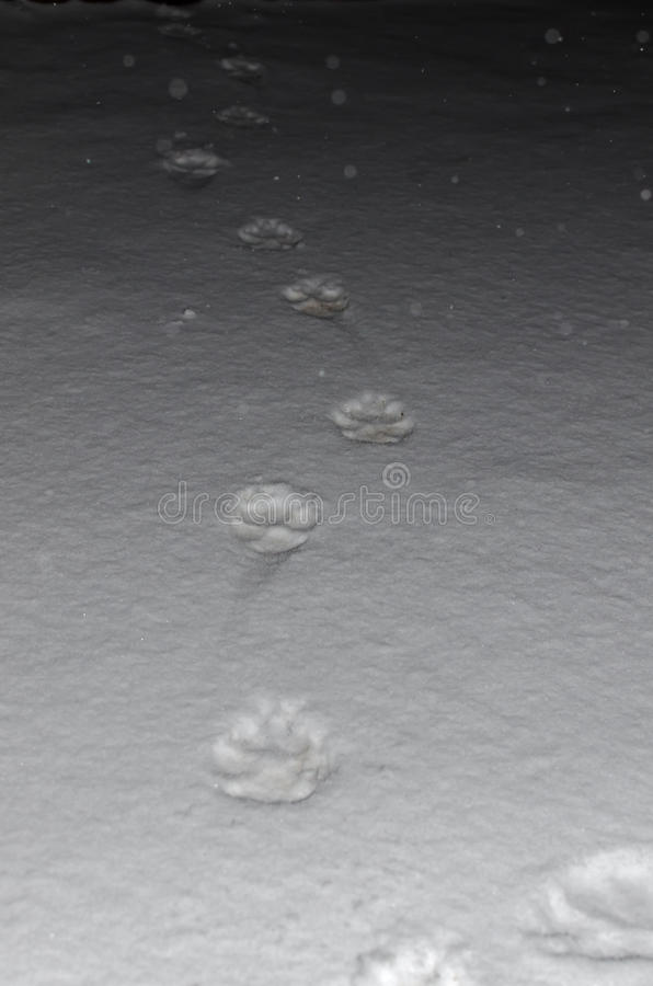 Animal footprints in the snow royalty free stock photos