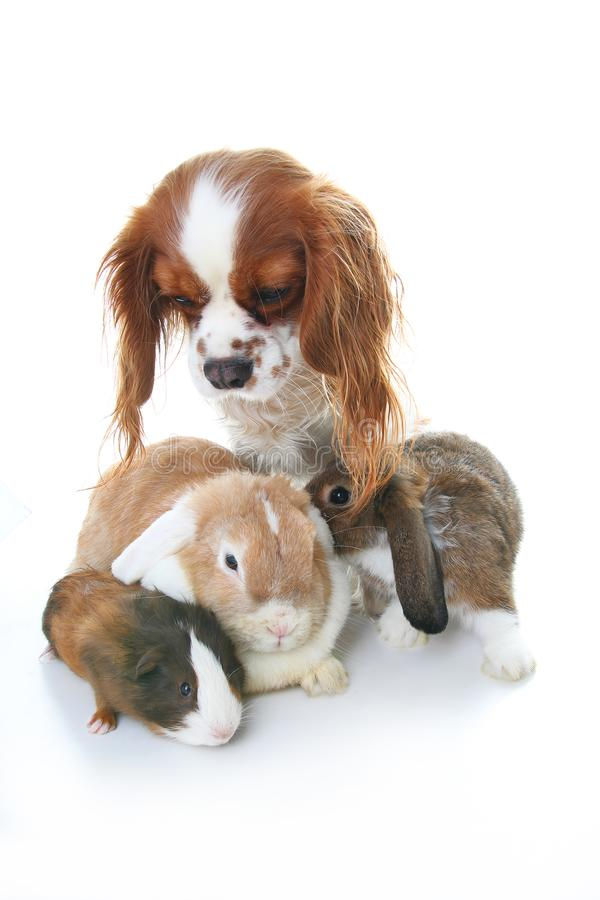 Animal friends. True pet friends. Dog rabbit bunny lop animals together on isolated white studio background. Pets love. Animal friends. True pet friends. Dog stock images
