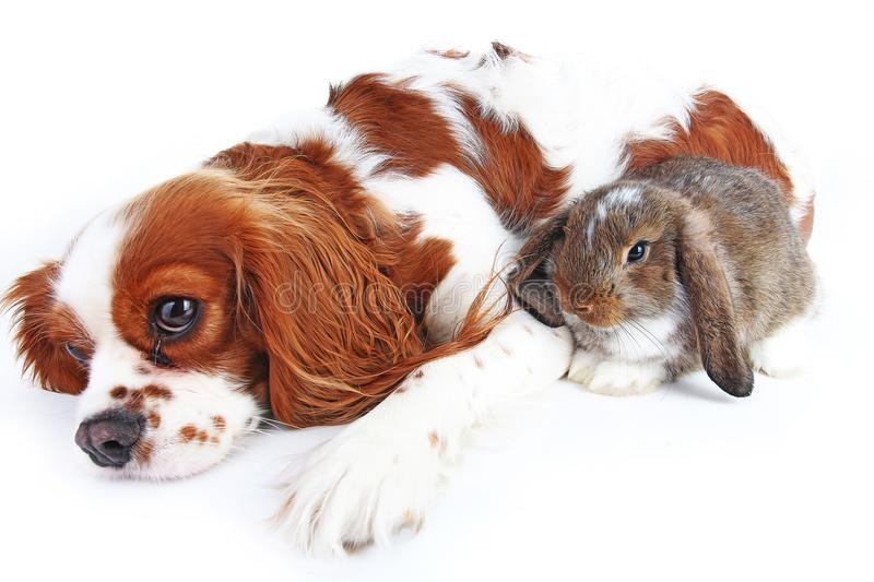 Animal friends. True pet friends. Dog rabbit bunny lop animals together on isolated white studio background. Pets love royalty free stock image