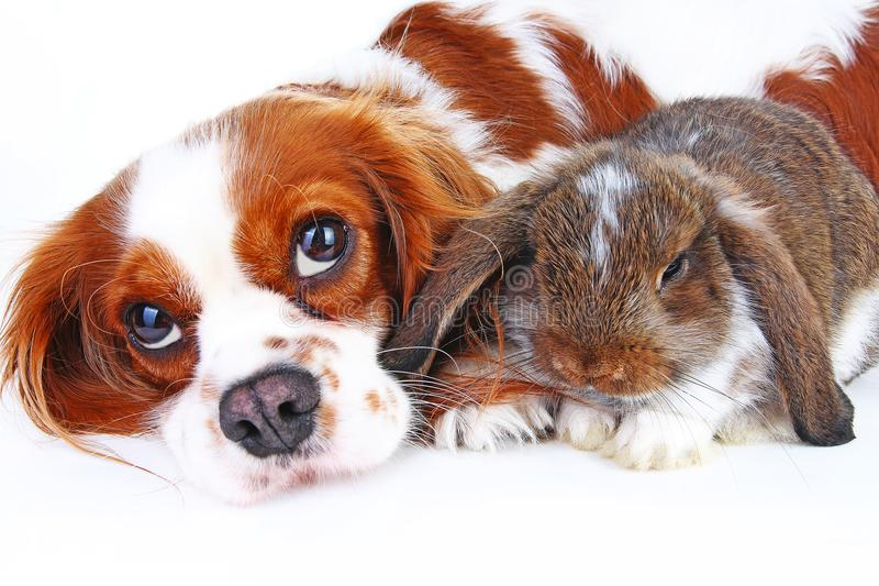 Animal friends. True pet friends. Dog rabbit bunny lop animals together on isolated white studio background. Pets love. Each other. Cute stock photos
