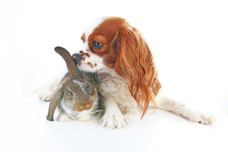 Animal friends. True pet friends. Dog rabbit bunny lop animals together on white studio background. Pets love royalty free stock image