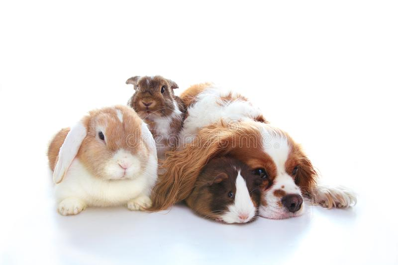 Animal friends. True pet friends. Dog rabbit bunny lop animals together on isolated white studio background. Pets love. Animal friends. True pet friends. Dog royalty free stock image