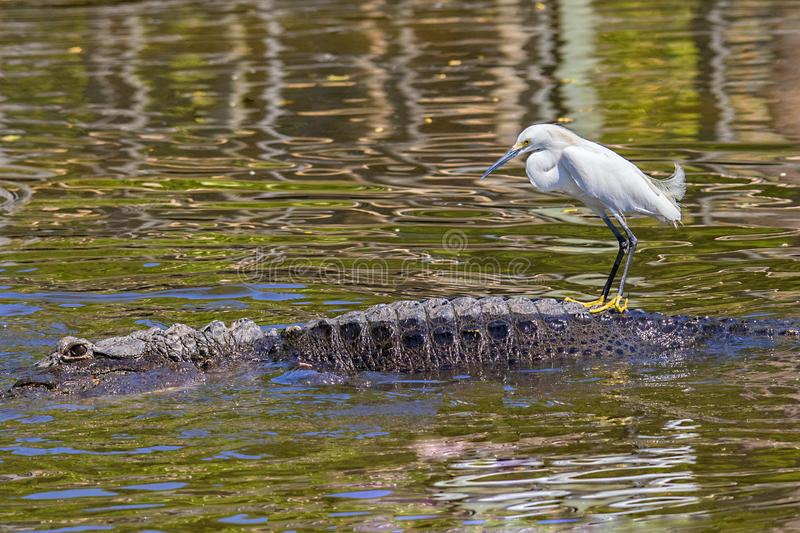 Snowy Egret Getting a Back Ride From a Gator Friend. Animal friendship, a Snowy Egret getting a back ride from a gator friend stock photo