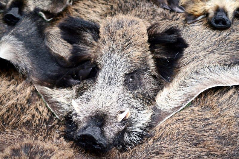 Animal furs. Wild boar head and animal furs stock photography