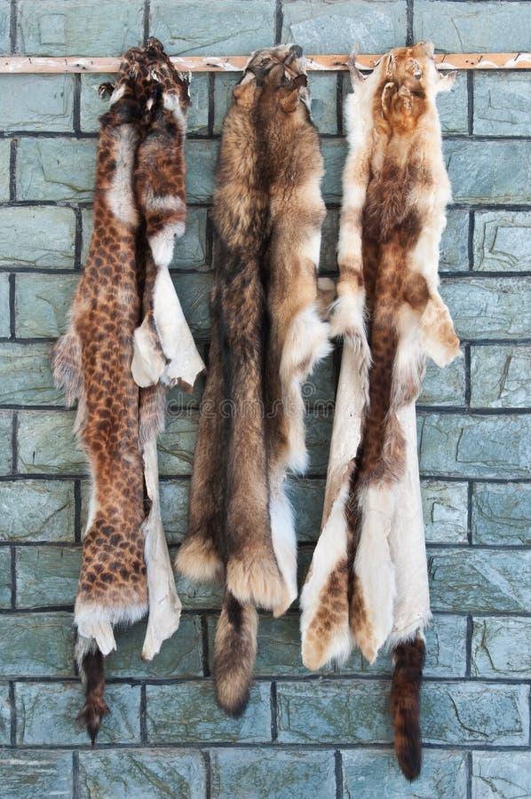 Animal furs hanging on a wall. Wild animal furs and skins hanging on a wall for airing and drying stock image