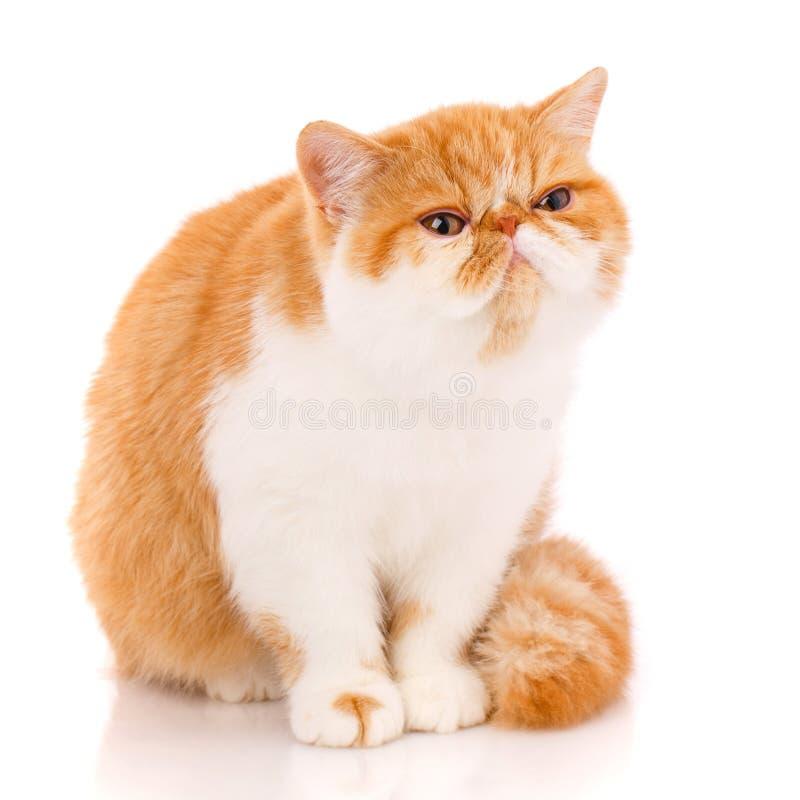 Animal, gato, conceito do animal de estimação - gato exótico em um fundo branco fotografia de stock