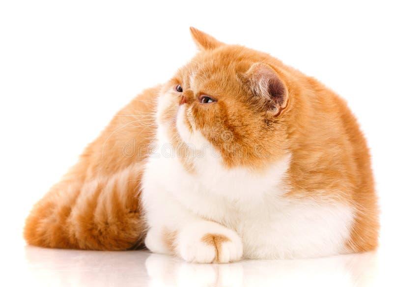 Animal, gato, conceito do animal de estimação - gato exótico em um fundo branco foto de stock royalty free