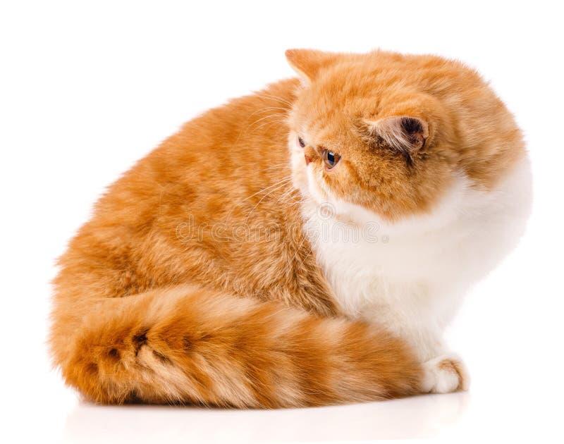Animal, gato, conceito do animal de estimação - gato exótico em um fundo branco imagens de stock