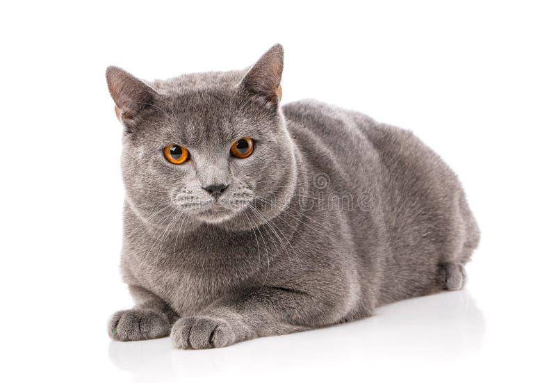 Animal, gato, concepto del animal doméstico - gato del chartreux fotografía de archivo