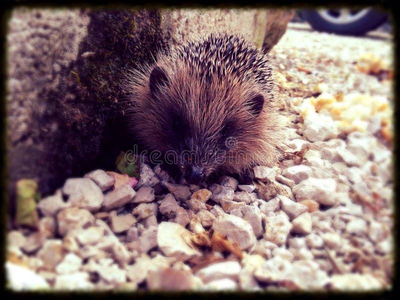 Animal Hedgehog royalty free stock image