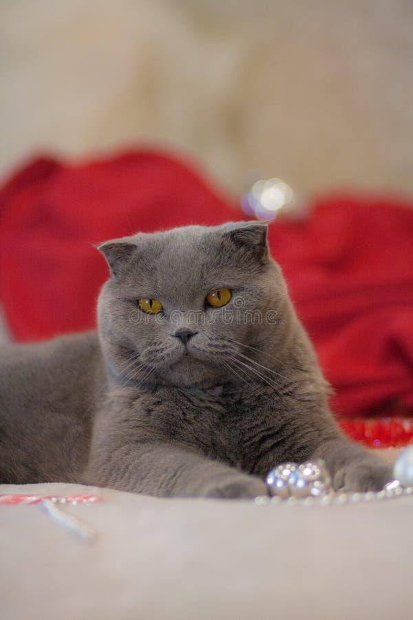 Animal hermoso del gato británico gris del gato del gato del concepto de la Navidad foto de archivo