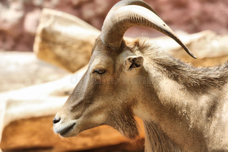 Animal with horns. An animal with horns like horse in giza zoo in egypt stock photos