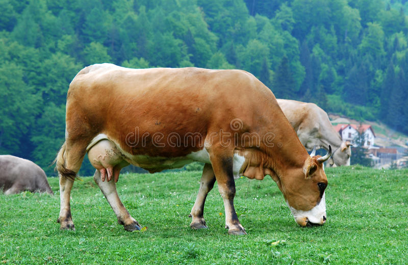 Download Animal husbandry stock photo. Image of food, romania, look - 9443858