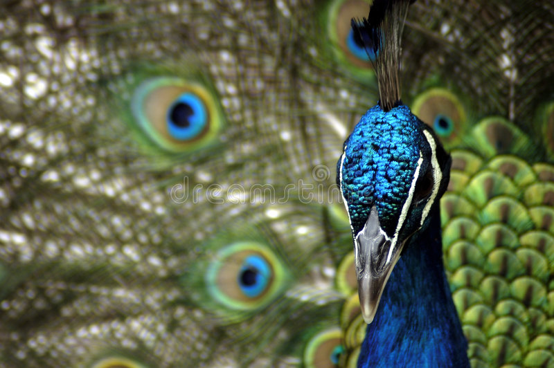 Animal - Indian Blue Peafowl (Pavo Cristatus) Stock Image