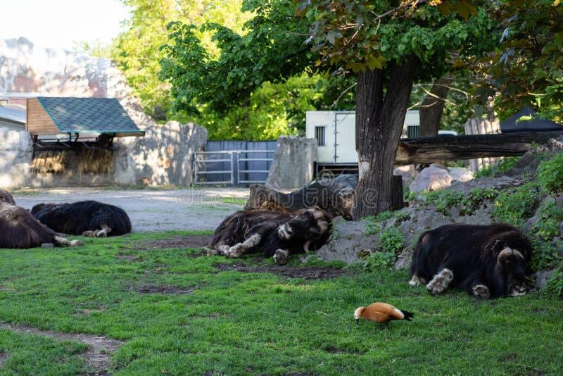 Animal infeliz Boi de almíscares despenteado gasto no jardim zoológico de Moscou fotos de stock royalty free