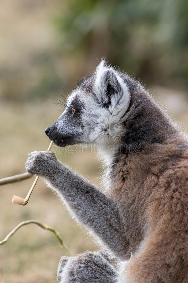 Animal intelligence. Funny image of an intelligent lemur contemplating life with a fake smoking pipe. royalty free stock images