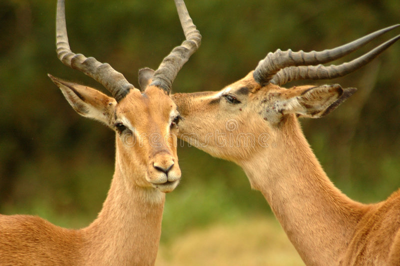 Animal interaction. Two beautiful wild African male Impala antelope (Aepyceros melampus) head profile portraits with big horns and alert expression in the faces